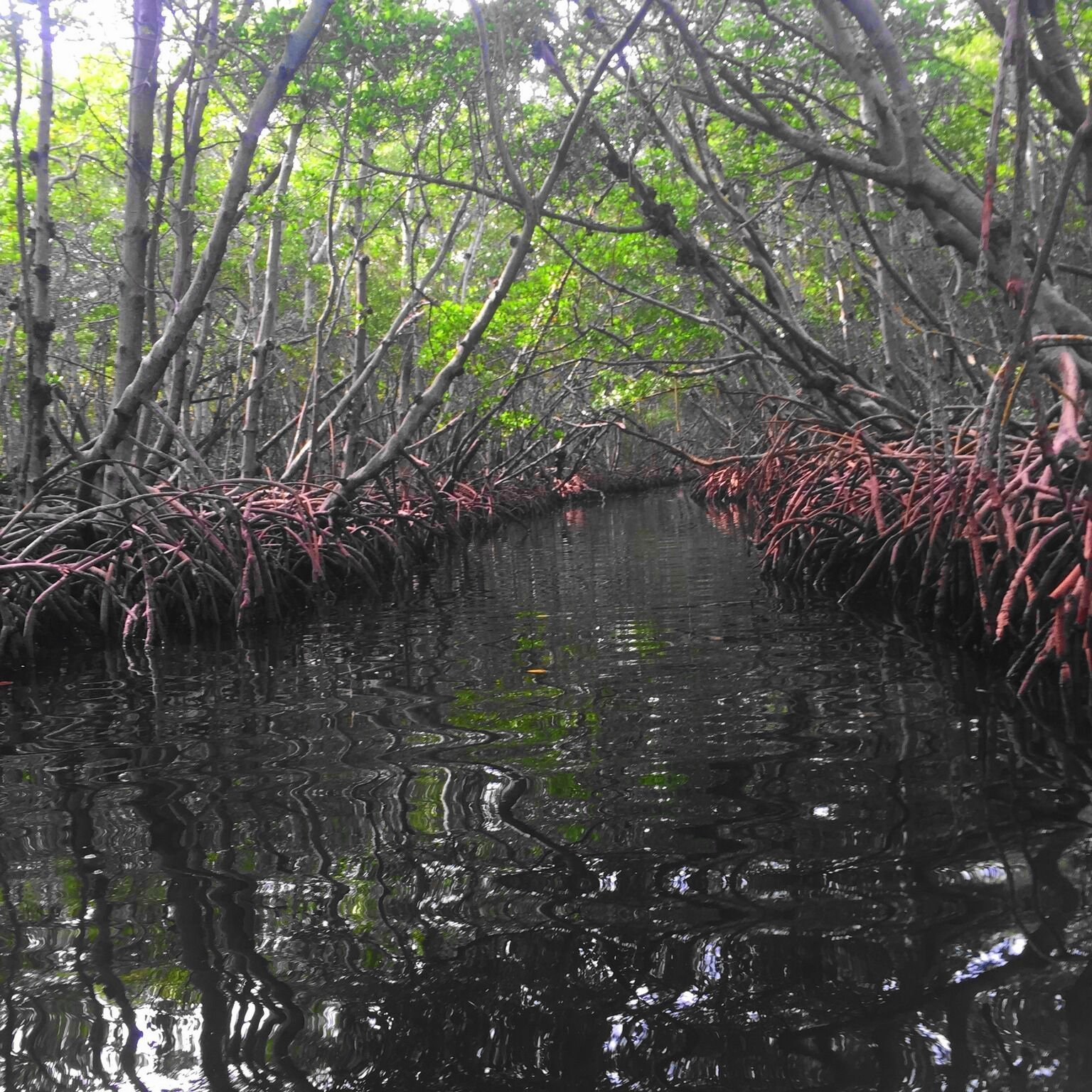 what to do in Sarasota, Florida - kayaking mangroves